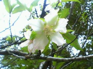 8月の桜に会えたよ(石垣島)