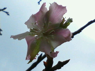 九月の桜、那覇市識名園
