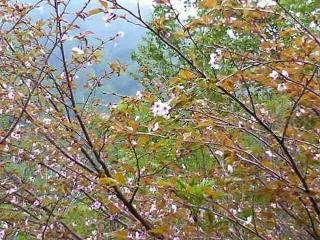 七月の桜 長野県栂池自然園