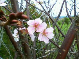 八月の桜に会えました 北海道