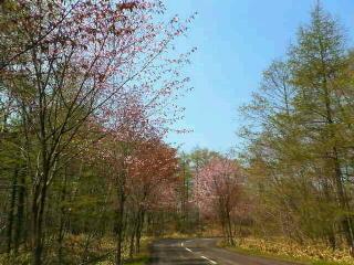 釧路市山花公園の桜