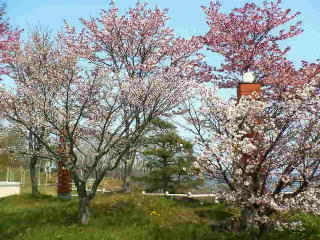 道の駅厚岸の桜