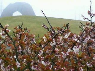 根室市ノサップ岬の桜