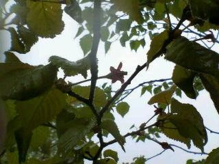 海の日の桜、今年は見られず