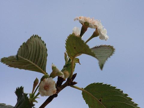 8月の桜 熱海市MOA美術館