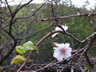 9月の桜 伊豆さくらの里