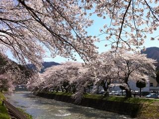 釜石市小川川の桜