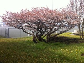 根室市華岬小の桜