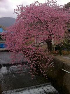 河津町沢田の桜