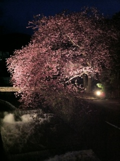 河津町沢田の桜ライトアップ