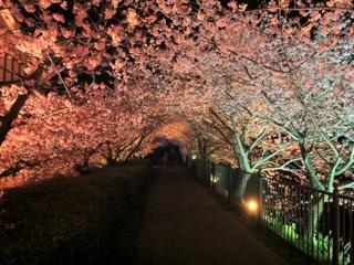 河津町峰温泉会館裏の桜ライトアップ