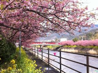 河津町浜の桜並木