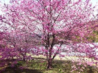 河津町来宮神社の河津桜