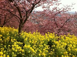 松田町の河津桜