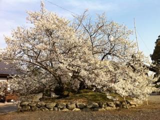 愛媛県西条市実報寺の一樹桜