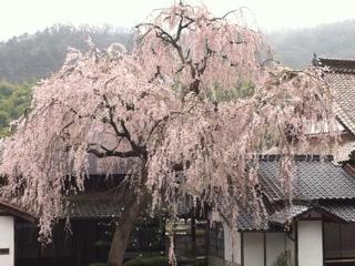 広島県福山市福泉坊のしだれ桜