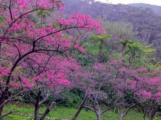 沖縄県本部町八重岳の桜