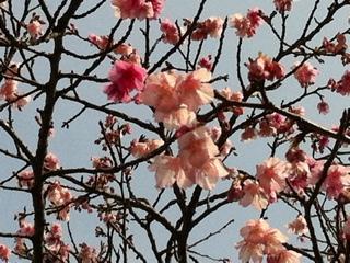 沖縄県八重岳の紅白咲きの桜