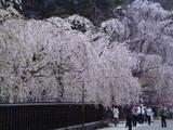 Kakunodate_shidare